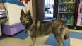 В Петербурге заболела собака, которая каталась на ...