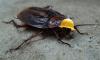 Учёные из Коннектикута создали устройство для управления тараканом