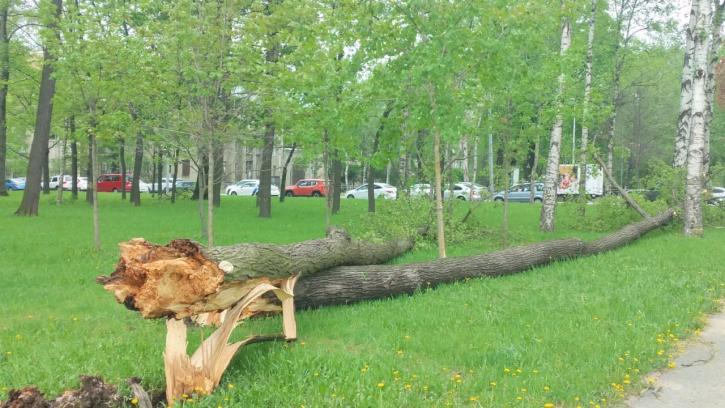 В Петербурге за время грозы повалило 161 дерево на проезжую часть и тротуары