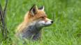 Петербуржцев попросили не трогать лис, пришедших из лесо...