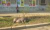 Петербуржцы заметили на Васильевском острове загорающего хряка