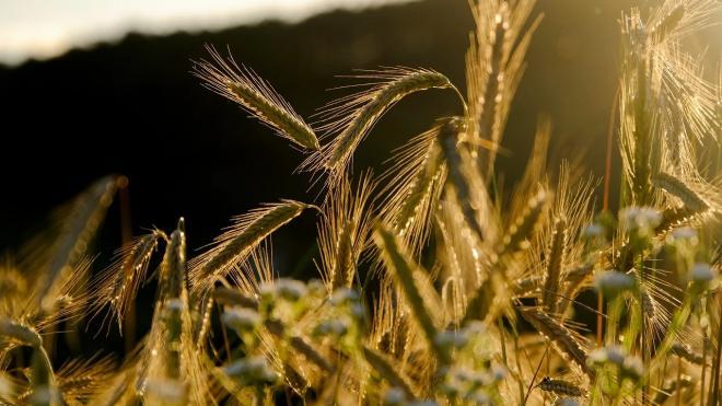 Ученые из Ленобласти создали гибрид ржи и пшеницы