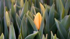 Калининградский питомник намерен поставить в регионы РФ к весенним праздникам 10 млн тюльпанов
