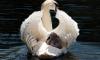 В Гатчинском парке лебедя разодрала бродячая собака