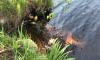В реке Юнтоловка зафиксирована массовая гибель рыбы