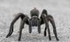 В Башкирии в садах массово размножаются тарантулы