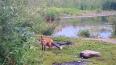 Петербуржцы сфотографировали лису у Лахтинского разлива