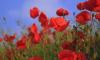 Минпромторг предложил разрешить выращивание опийного мака