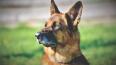 Служебный пес Волк-Меркурий выследил напавшего на ...
