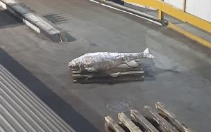 На Дальнем Востоке поймали огромного тунца весом под 200 кг