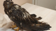 В Михайловском саду спасли краснокнижную птицу от ворон