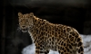В Приморье выбрали имя для одного из последних дальневосточных леопардов