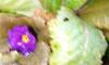 В Петербурге из-за тепла распустились весенние цветы