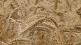 В Ленобласти засеяли 71 гектар опасной пшеницей