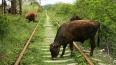 Поезд Минск-Москва сбил насмерть 52 коровы