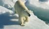 Белая медведица напала на женщину в Ненецком автономном округе