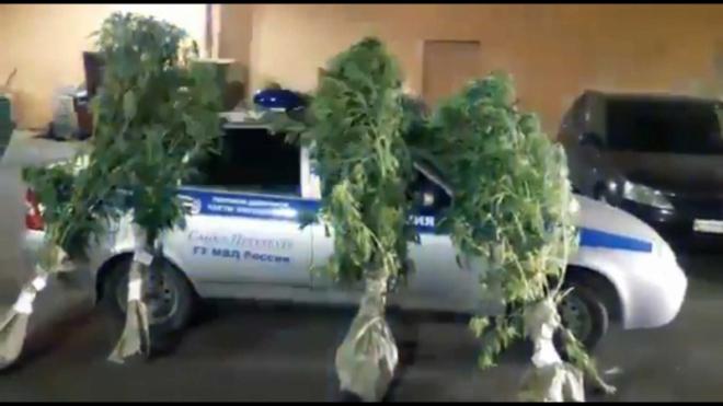 Полиция накрыла парник с 17 кустами конопли в Ленобласти