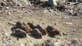 Жители Приморского района жалуются на нашествие крыс