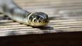 """В """"Ленте"""" опровергли информацию о змее в ящике с продукт..."""