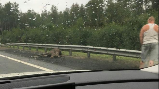 На Мурманском шоссе у КАД сбили лося