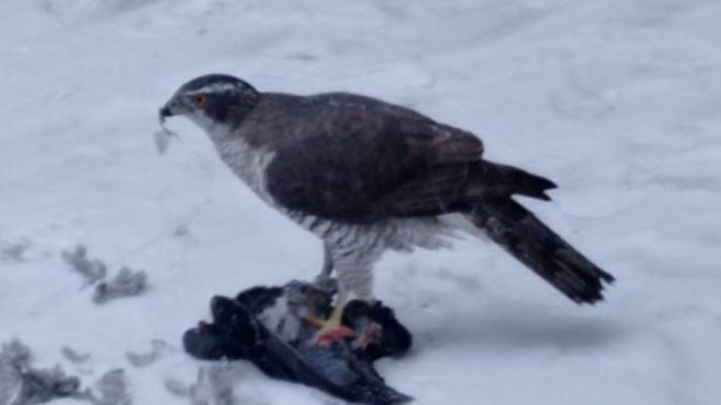 Фото: ястреб растерзал голубя в Приморском районе