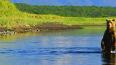 На Камчатке открыт сезон медвежьих свадеб