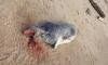 На берегу Финского залива обнаружили зарубленных тюленят