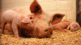 В Ленобласти построят свинокомплекс