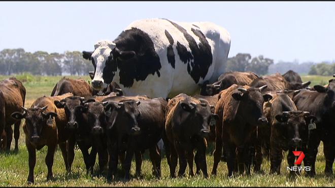 В Австралии нашли быка ростом два метра и весом 1,4 тонны