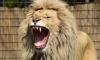 Препарацией замороженного льва будет развлекать школьников датский зоопарк на осенних каникулах