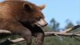 Йети оказался родственником русского медведя