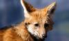 В Ленобласти стартовала осенняя вакцинация диких животных против бешенства