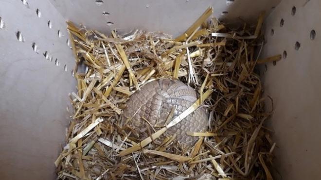 В Ленинградском зоопарке появился броненосец Шарик