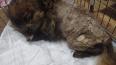 """В """"Велес"""" поступили енотовидная собака и лис в тяжелом ..."""