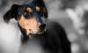 В Петербурге двухлетнему мальчику зашивали щеку после укуса домашней собаки