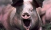 Тело итальянского мафиози скормили свиньям