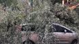 В Приморском районе ива придавила припаркованные машины