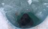 Нерпенок Крошик снял с себя и выложил на лед пластиковую метку