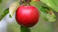 Яблочный спас 2016: короткие прикольные смс-поздравления ...