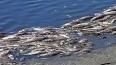В Москве-реке зафиксирован массовый мор рыбы
