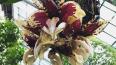 В Петербургском саду расцвела орхидея-бык