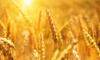 Сельхозпредприятиями Ленобласти собрано 133 тыс. тонн зерновых культур