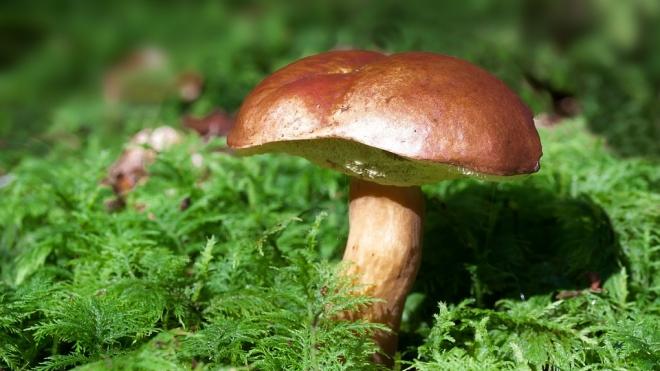 Где собирать грибы в Калининградской области: самые грибные места на карте