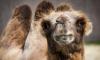 В Петербурге новорожденный верблюжонок получил имя в честь Станислава Черчесова