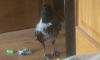Петербуржцы разыскивают сбежавшую от хозяина ворону-инвалида