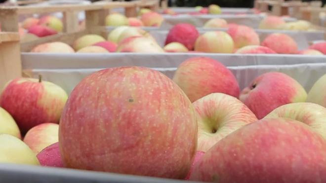 В Петербурге не приняли крупную партию македонских яблок