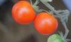 В Морском порту Петербурга забраковали 93 тонны марокканских томатов