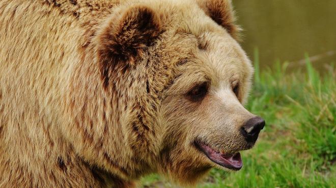 В Иркутской области дикий медведь напал на женщину прямо в гараже