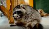 """В """"Питерлэнде"""" контактный зоопарк кормил животных с ветеринарными нарушениями"""