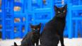 Предвестник несчастья: как черные коты становятся ...